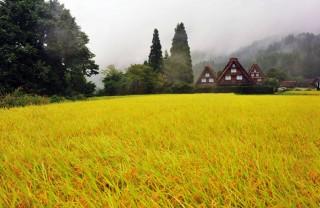 白川・黄金色の郷